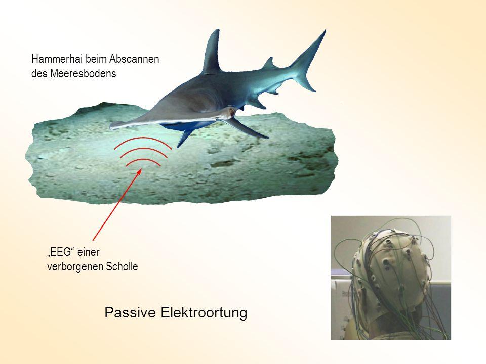 Hammerhai beim Abscannen des Meeresbodens EEG einer verborgenen Scholle Passive Elektroortung