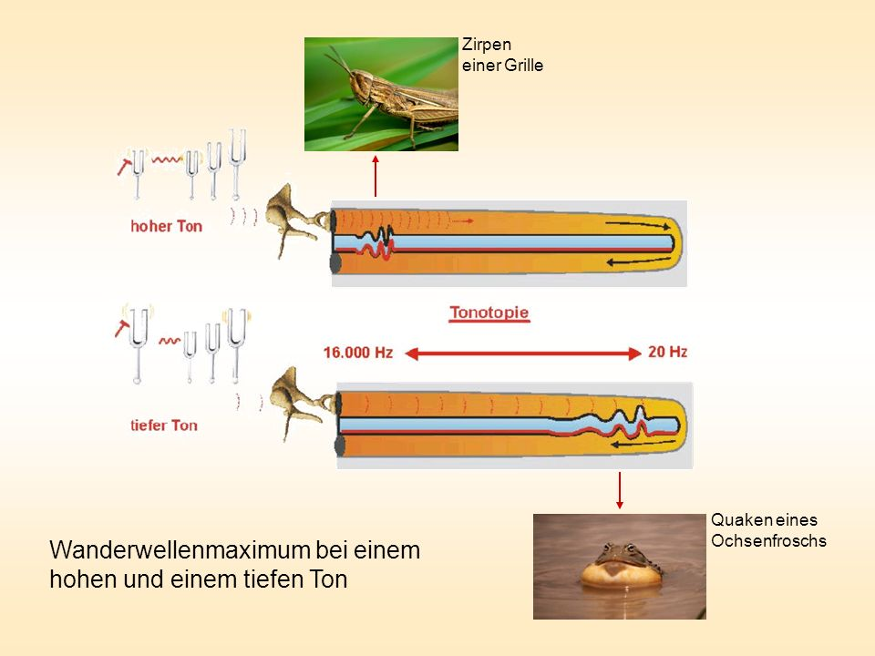 Wanderwellenmaximum bei einem hohen und einem tiefen Ton Zirpen einer Grille Quaken eines Ochsenfroschs
