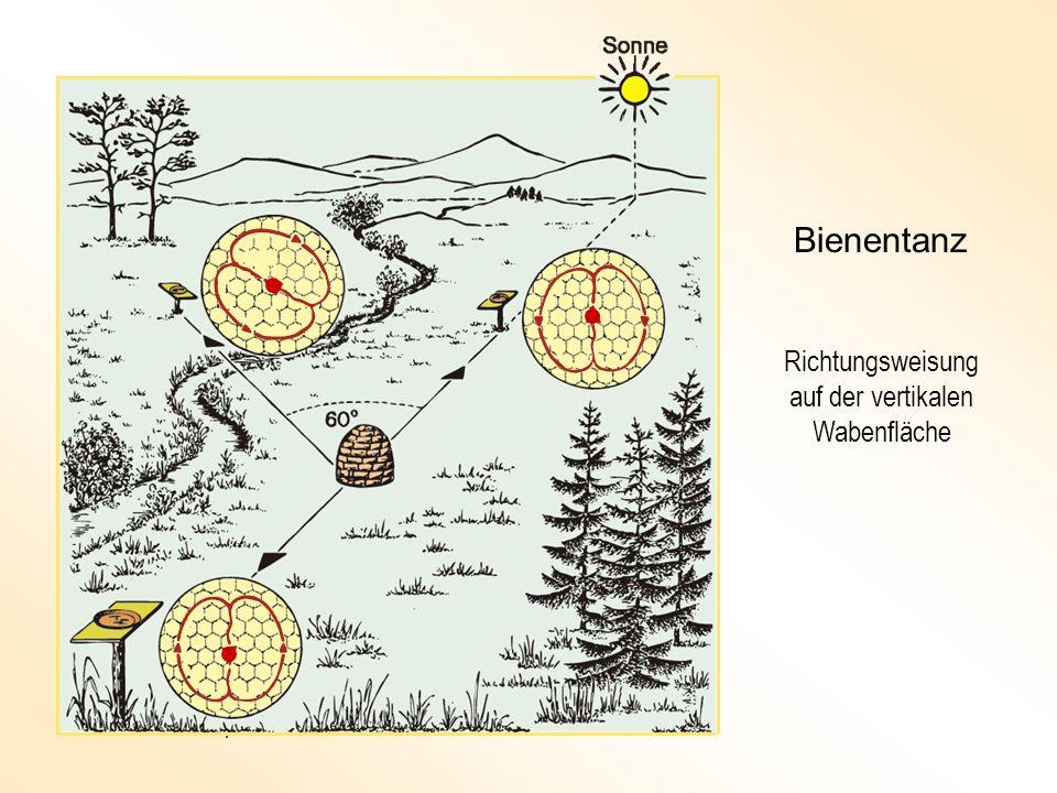 Bienentanz Richtungsweisung auf der vertikalen Wabenfläche