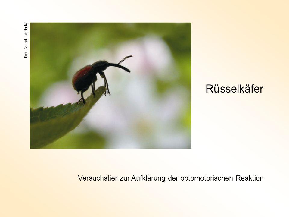 Foto: Gabriele Jesdinsky Rüsselkäfer Versuchstier zur Aufklärung der optomotorischen Reaktion