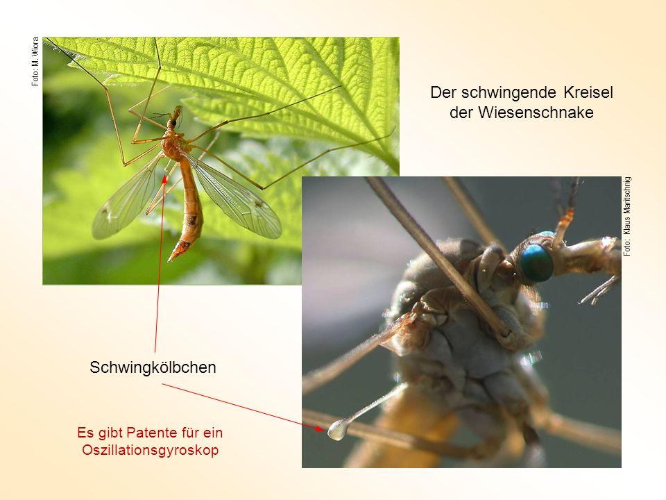 Foto: M. Wiora Foto: Klaus Maritschnig Schwingkölbchen Der schwingende Kreisel der Wiesenschnake Es gibt Patente für ein Oszillationsgyroskop