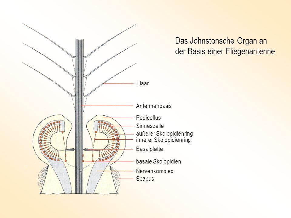 Haar Antennenbasis Pedicellus Sinneszelle äußerer Skolopidienring Basalplatte innerer Skolopidienring basale Skolopidien Nervenkomplex Scapus Das John