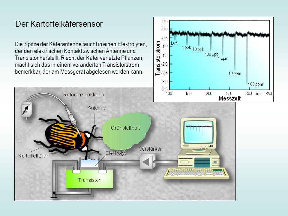 Die Spitze der Käferantenne taucht in einen Elektrolyten, der den elektrischen Kontakt zwischen Antenne und Transistor herstellt. Riecht der Käfer ver