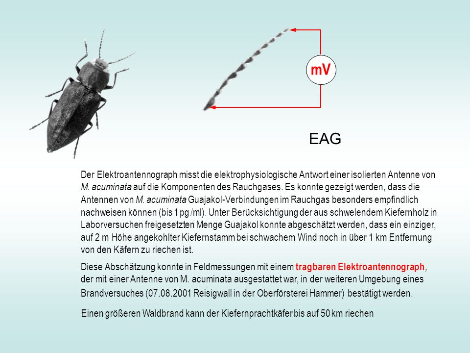 Der Elektroantennograph misst die elektrophysiologische Antwort einer isolierten Antenne von M. acuminata auf die Komponenten des Rauchgases. Es konnt