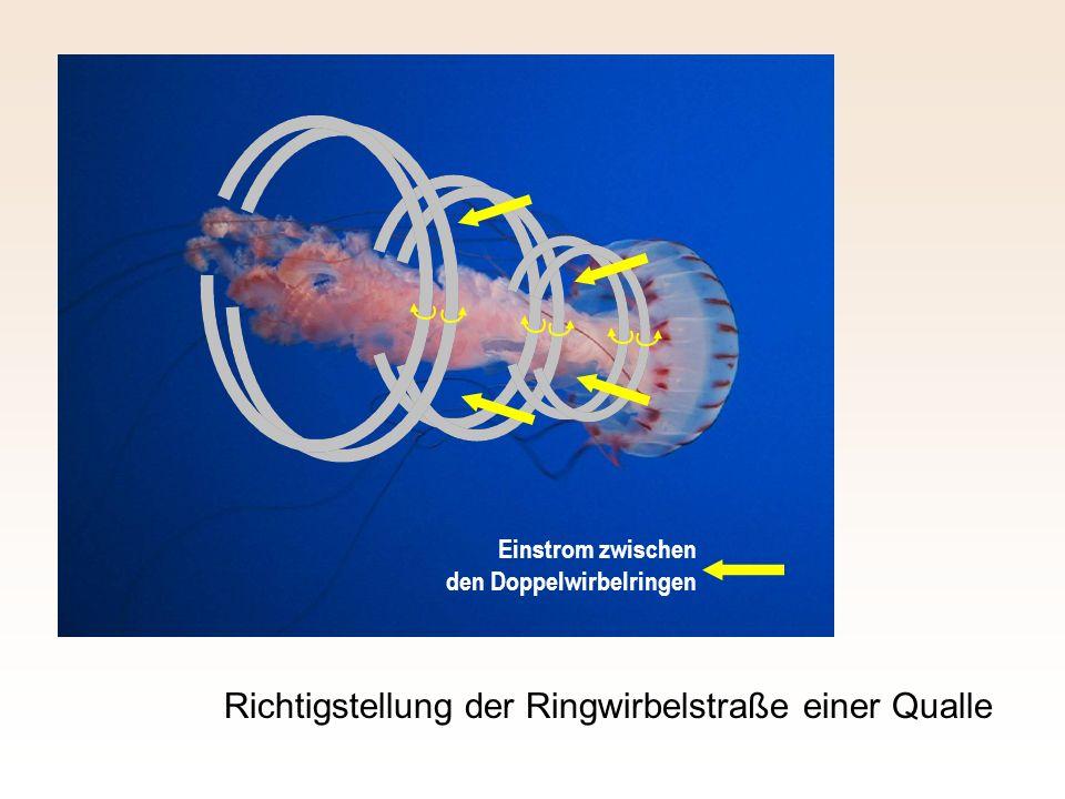 Richtigstellung der Ringwirbelstraße einer Qualle Einstrom zwischen den Doppelwirbelringen