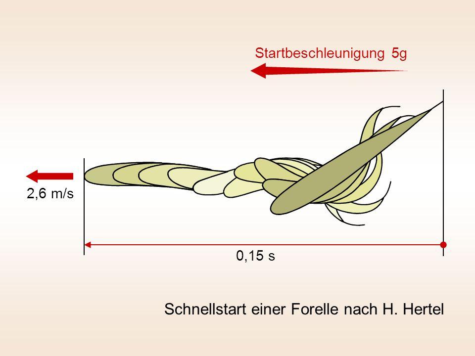 Schnellstart einer Forelle nach H. Hertel 0,15 s 2,6 m/s Startbeschleunigung 5g
