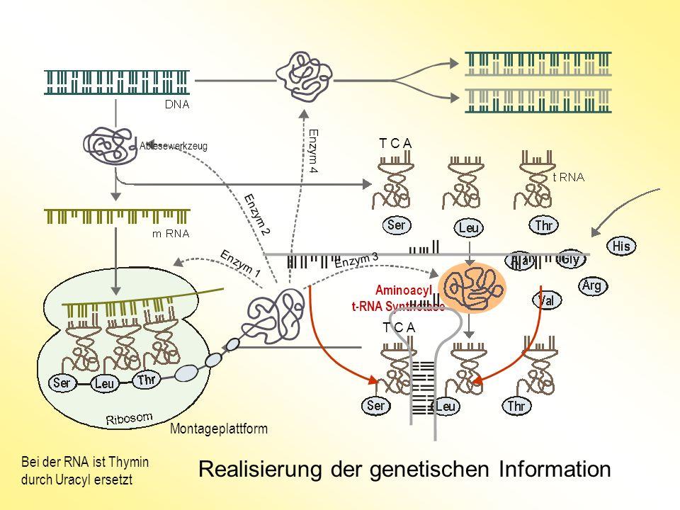 Realisierung der genetischen Information Aminoacyl t-RNA Synthetase Bei der RNA ist Thymin durch Uracyl ersetzt Montageplattform T C A Ablesewerkzeug