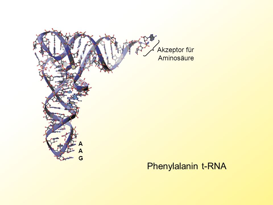 Phenylalanin t-RNA A A G Akzeptor für Aminosäure