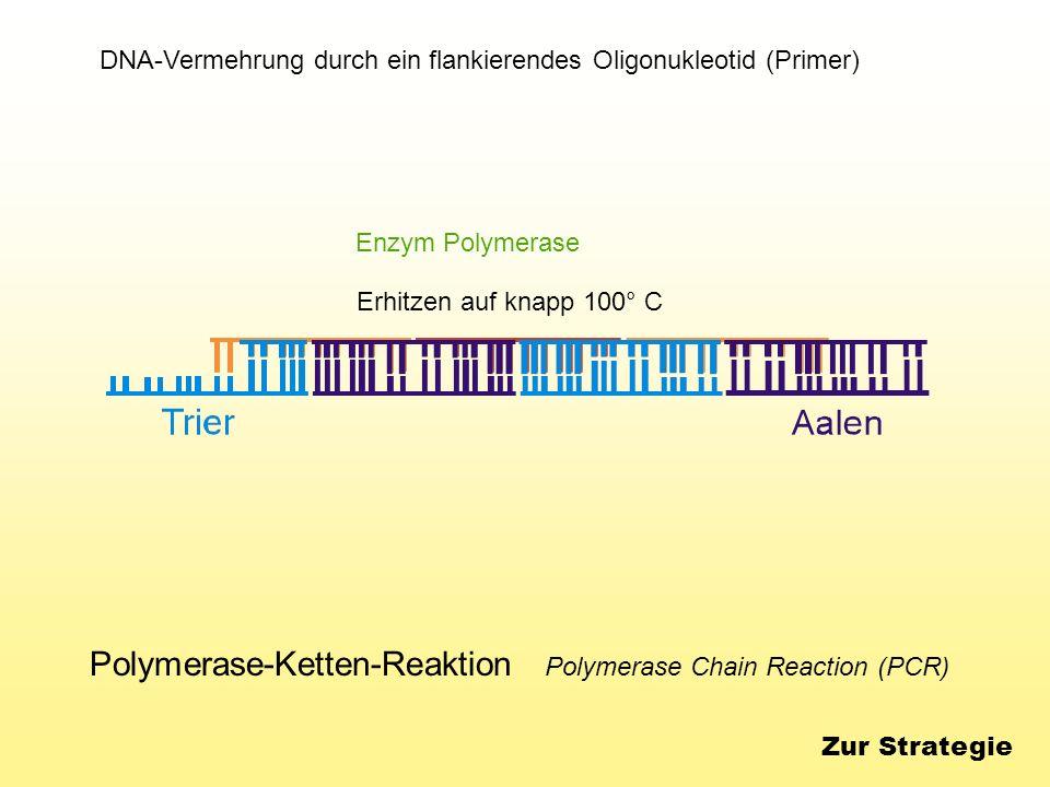 Polymerase-Ketten-Reaktion Polymerase Chain Reaction (PCR) DNA-Vermehrung durch ein flankierendes Oligonukleotid (Primer) Erhitzen auf knapp 100° C En