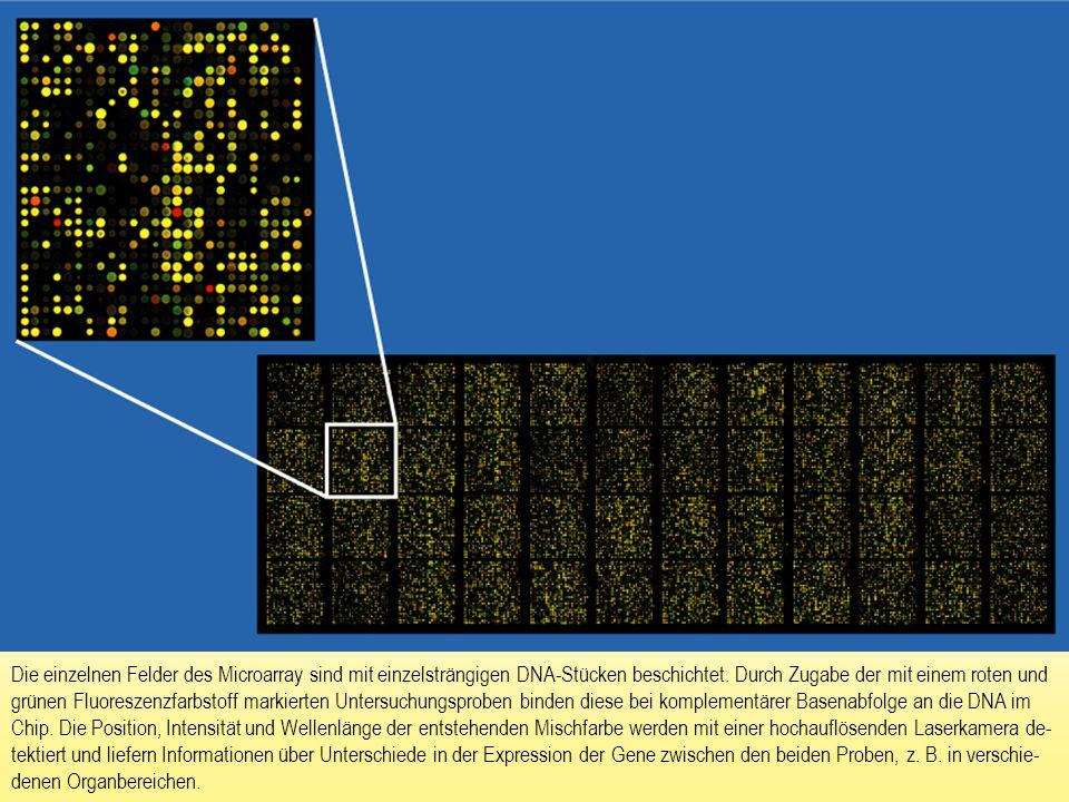 Die einzelnen Felder des Microarray sind mit einzelsträngigen DNA-Stücken beschichtet. Durch Zugabe der mit einem roten und grünen Fluoreszenzfarbstof