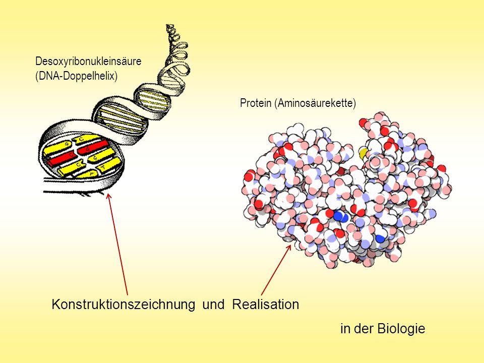 Konstruktionszeichnung und Realisation in der Biologie Desoxyribonukleinsäure (DNA-Doppelhelix) Protein (Aminosäurekette)
