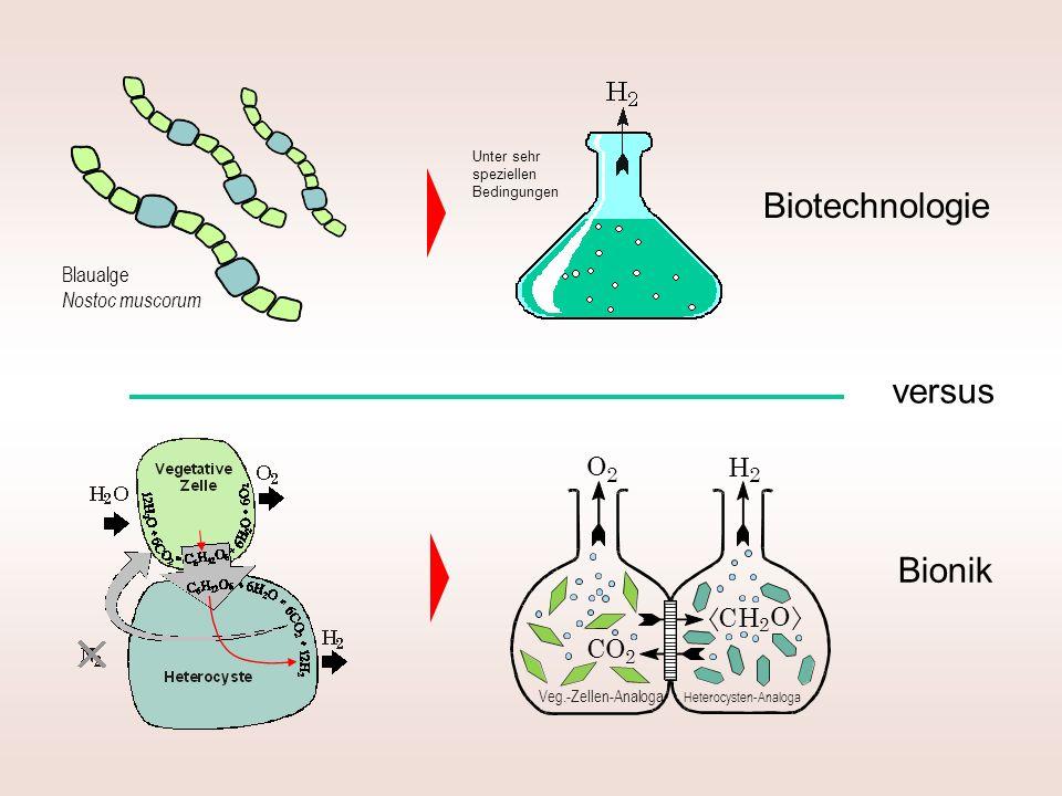 Biotechnologie Bionik versus Blaualge Nostoc muscorum Unter sehr speziellen Bedingungen