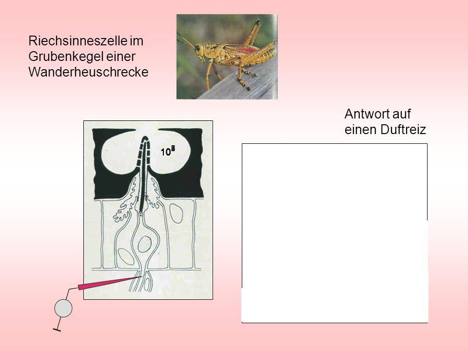 Membran Signalmolekül (Transmitter) Rezeptor V Ionen Chemisch gesteuerte Membran Membran Magnetspule Aufgeprägte Spannung Eisenstab V Elektrisch gesteuerte Membran Ionen Membrantypen Die aufgeprägte positive Spannung zieht den Stößel in die Spule hinein Axon Dendrit