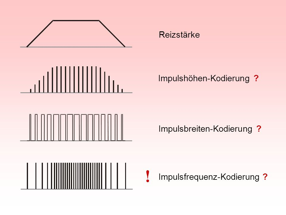 Impulsfrequenz-Kodierung am Ausgang einer Riechsinneszelle