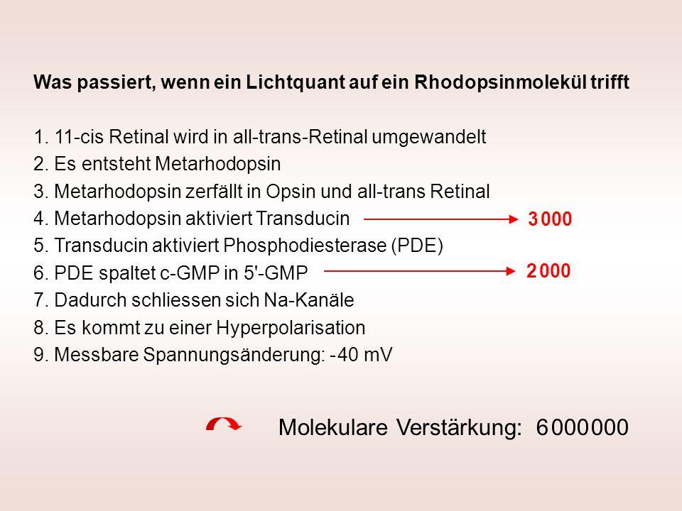Was passiert, wenn ein Lichtquant auf ein Rhodopsinmolekül trifft 1. 11-cis Retinal wird in all-trans-Retinal umgewandelt 2. Es entsteht Metarhodopsin