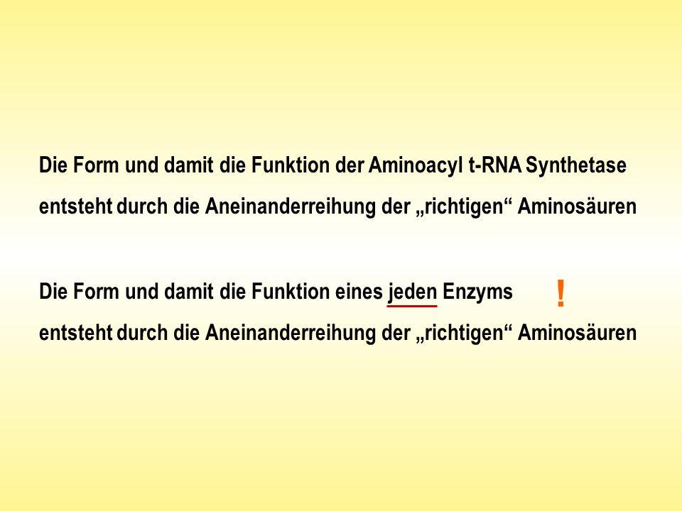 Die Form und damit die Funktion der Aminoacyl t-RNA Synthetase entsteht durch die Aneinanderreihung der richtigen Aminosäuren Die Form und damit die F
