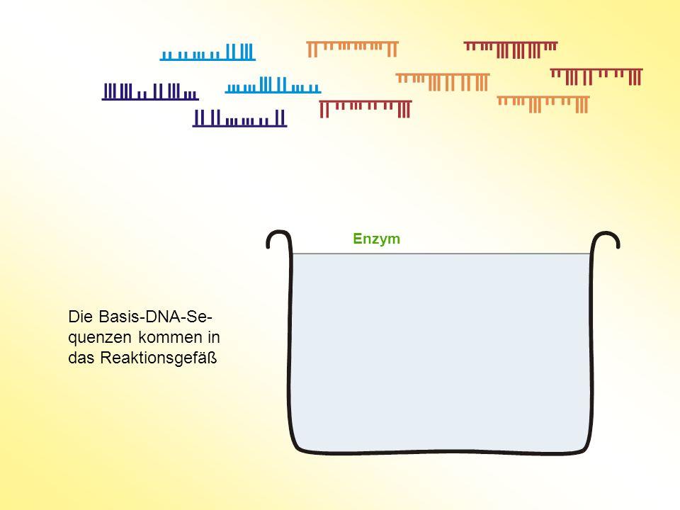 Die Basis-DNA-Se- quenzen kommen in das Reaktionsgefäß Enzym