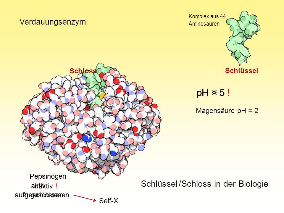 Schlüssel / Schloss in der Biologie Pepsin Pepsinogen Komplex aus 44 Aminosäuren pH < 5 pH > 5 ! Verdauungsenzym aktiv inaktiv ! Magensäure pH = 2 Sch