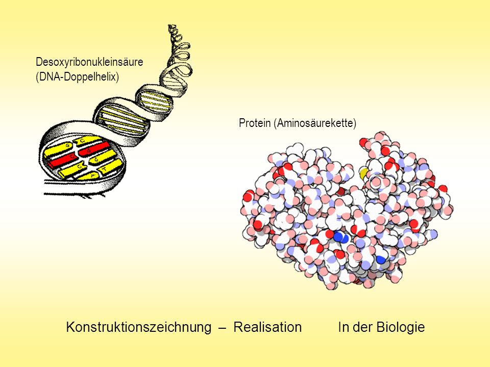 Konstruktionszeichnung – Realisation In der Biologie Desoxyribonukleinsäure (DNA-Doppelhelix) Protein (Aminosäurekette)