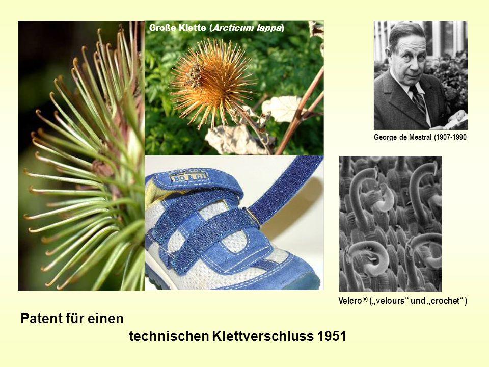 Große Klette (Arcticum lappa) Patent für einen technischen Klettverschluss 1951 George de Mestral (1907-1990 Velcro ® (velours und crochet )