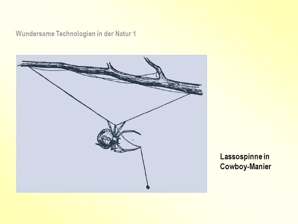 Lassospinne in Cowboy-Manier Wundersame Technologien in der Natur 1