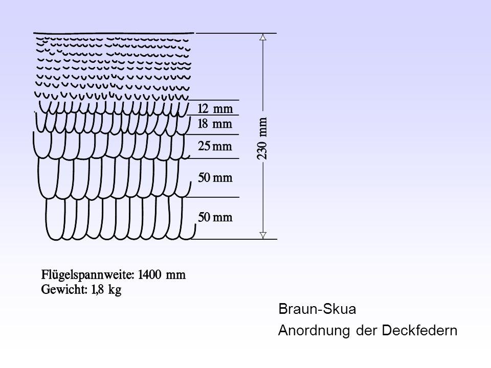 Braun-Skua Anordnung der Deckfedern