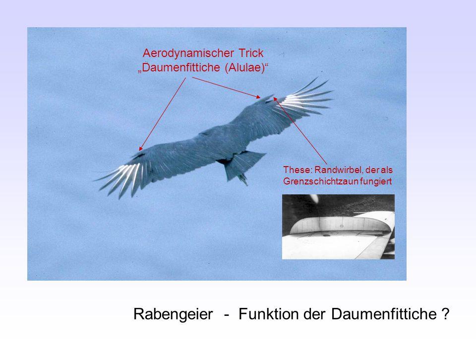 Rabengeier - Funktion der Daumenfittiche ? Aerodynamischer Trick Daumenfittiche (Alulae) These: Randwirbel, der als Grenzschichtzaun fungiert