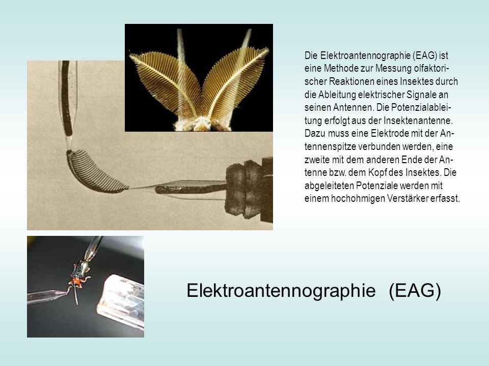 Die Elektroantennographie (EAG) ist eine Methode zur Messung olfaktori- scher Reaktionen eines Insektes durch die Ableitung elektrischer Signale an se