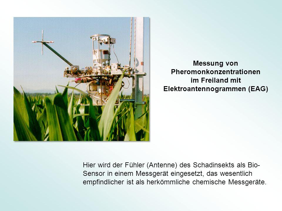Messung von Pheromonkonzentrationen im Freiland mit Elektroantennogrammen (EAG) Hier wird der Fühler (Antenne) des Schadinsekts als Bio- Sensor in ein