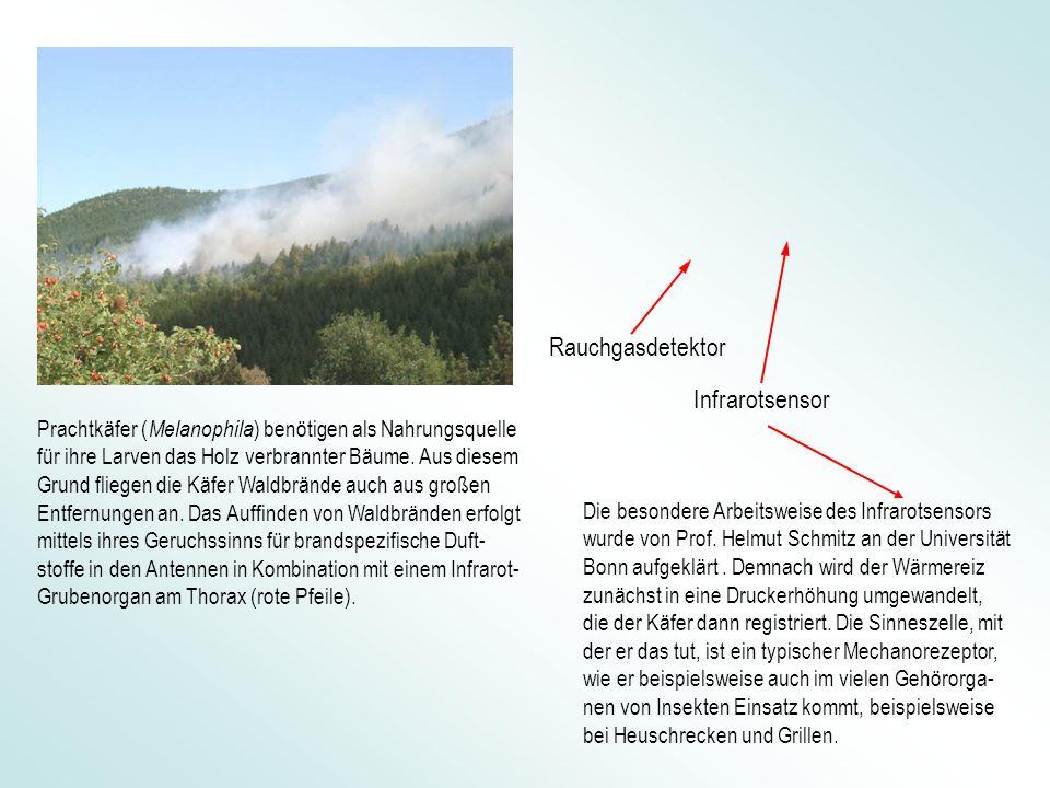 Infrarotsensor Rauchgasdetektor Prachtkäfer ( Melanophila ) benötigen als Nahrungsquelle für ihre Larven das Holz verbrannter Bäume. Aus diesem Grund