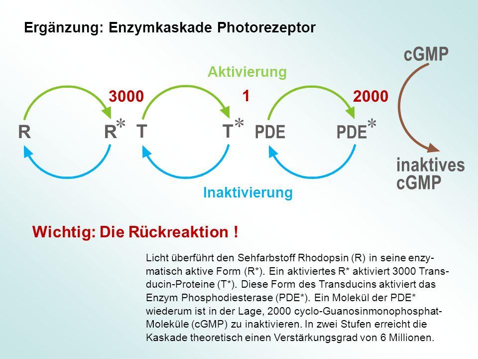 Licht überführt den Sehfarbstoff Rhodopsin (R) in seine enzy- matisch aktive Form (R*). Ein aktiviertes R* aktiviert 3000 Trans- ducin-Proteine (T*).