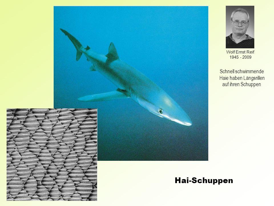 Hai-Schuppen Wolf Ernst Reif 1945 - 2009 Schnell schwimmende Haie haben Längsrillen auf ihren Schuppen