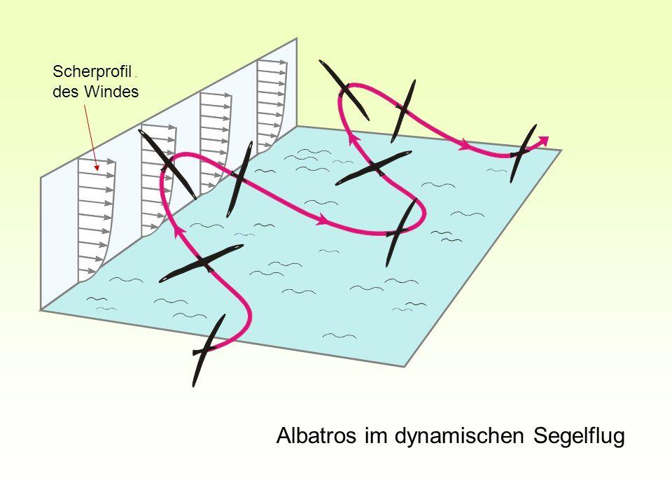 Albatros im dynamischen Segelflug Scherprofil des Windes