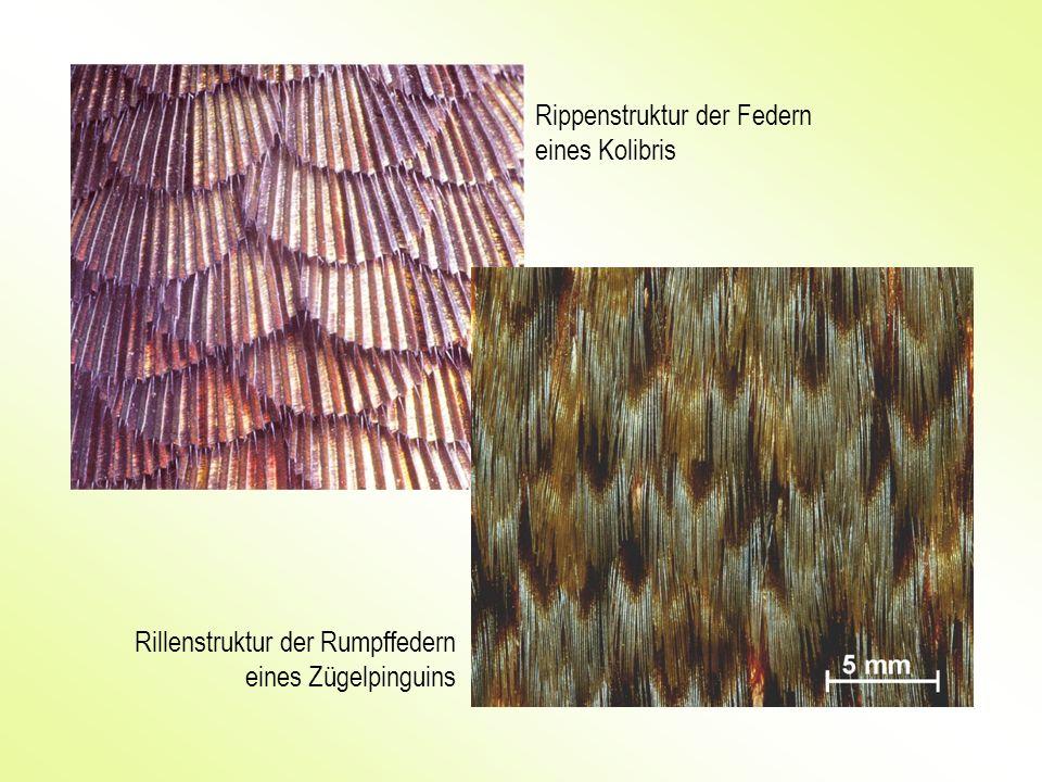 Rippenstruktur der Federn eines Kolibris Rillenstruktur der Rumpffedern eines Zügelpinguins