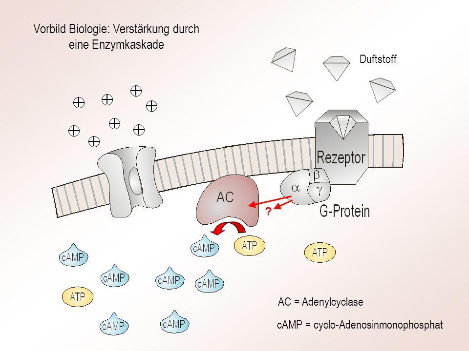 AC = Adenylcyclase cAMP = cyclo-Adenosinmonophosphat Vorbild Biologie: Verstärkung durch eine Enzymkaskade Duftstoff ?