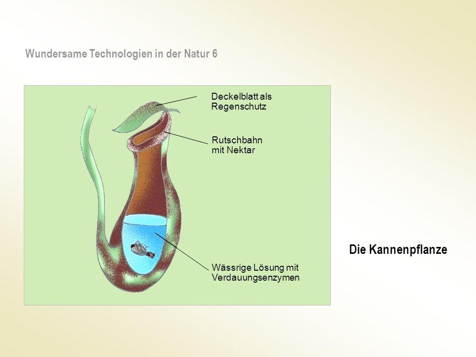 Wundersame Technologien in der Natur 6 Deckelblatt als Regenschutz Rutschbahn mit Nektar Wässrige Lösung mit Verdauungsenzymen Die Kannenpflanze