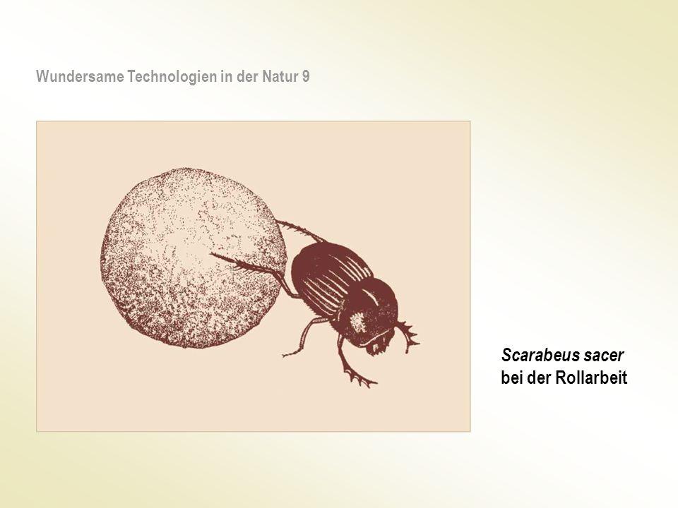 Scarabeus sacer bei der Rollarbeit Wundersame Technologien in der Natur 9