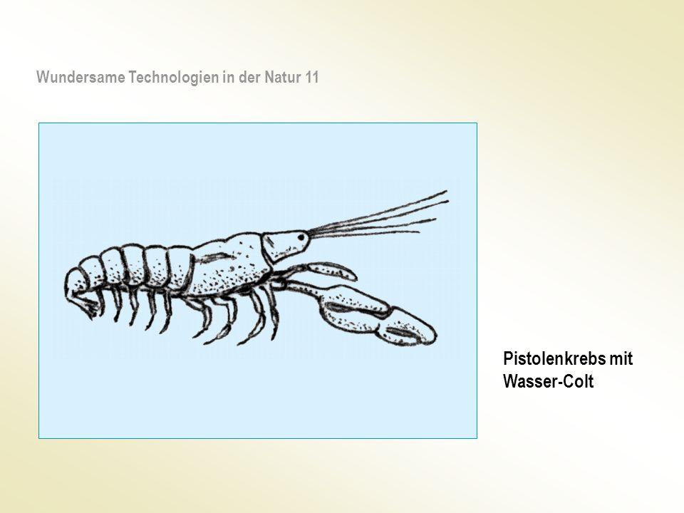 Pistolenkrebs mit Wasser-Colt Wundersame Technologien in der Natur 11