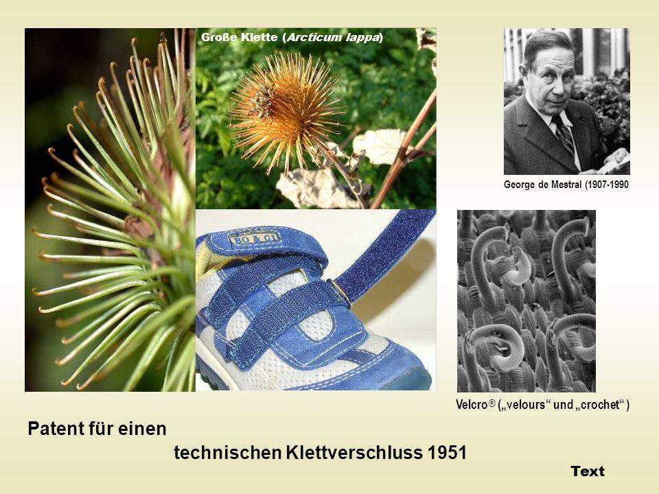 Große Klette (Arcticum lappa) Patent für einen technischen Klettverschluss 1951 George de Mestral (1907-1990 Velcro ® (velours und crochet ) Text