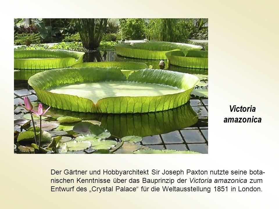Victoria amazonica Der Gärtner und Hobbyarchitekt Sir Joseph Paxton nutzte seine bota- nischen Kenntnisse über das Bauprinzip der Victoria amazonica z