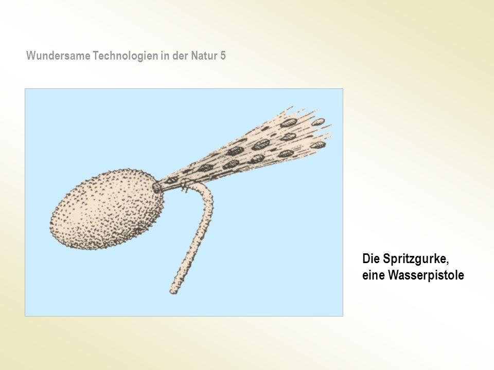 Die Spritzgurke, eine Wasserpistole Wundersame Technologien in der Natur 5