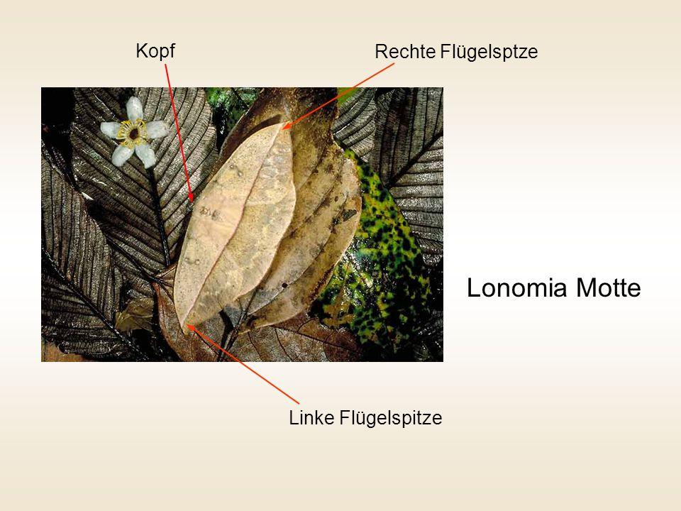 Lonomia Motte Kopf Rechte Flügelsptze Linke Flügelspitze