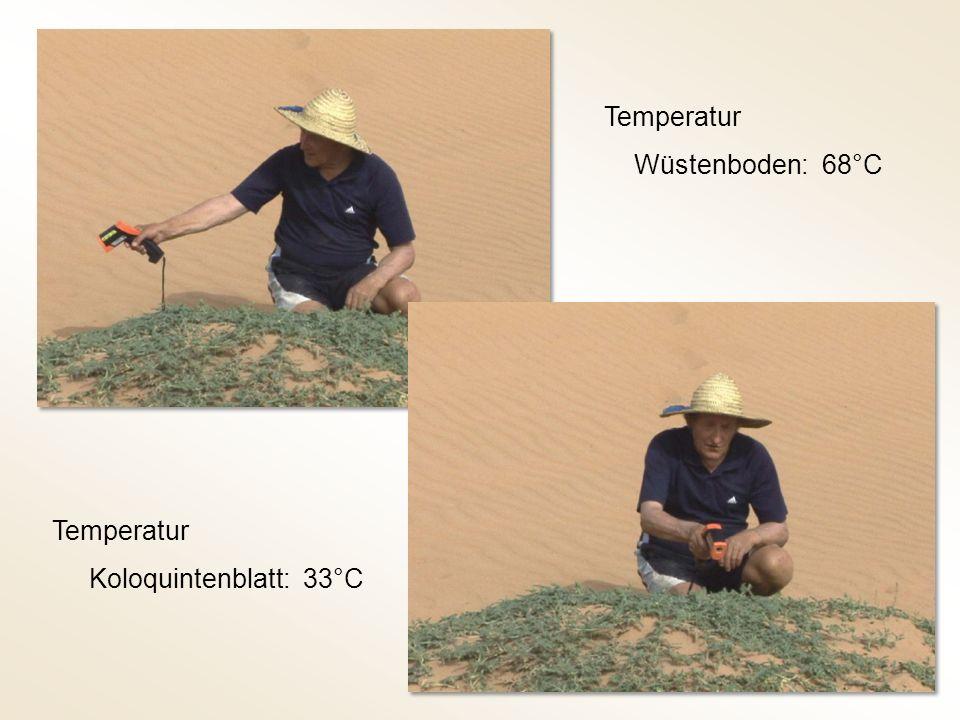 Temperatur Wüstenboden: 68°C Temperatur Koloquintenblatt: 33°C
