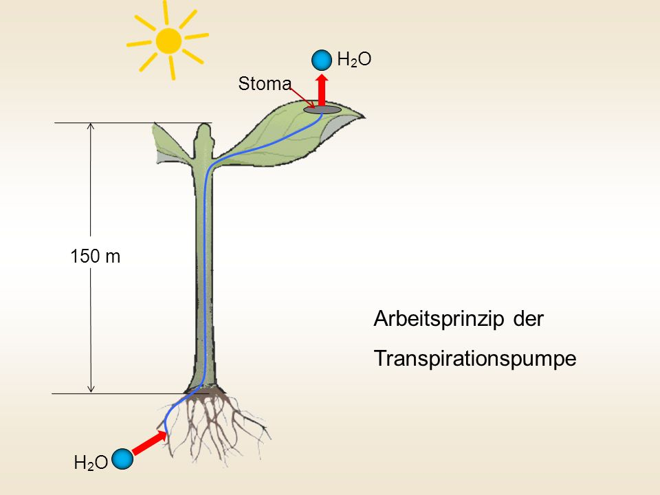 H2OH2O H2OH2O Arbeitsprinzip der Transpirationspumpe 150 m Stoma