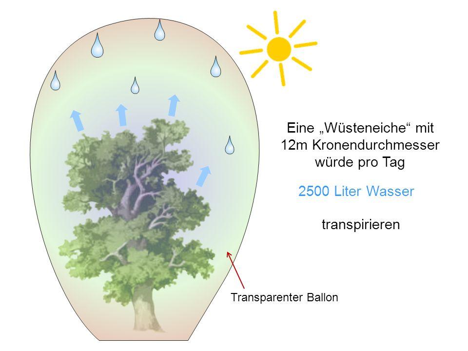 Eine Wüsteneiche mit 12m Kronendurchmesser würde pro Tag 2500 Liter Wasser Transparenter Ballon transpirieren