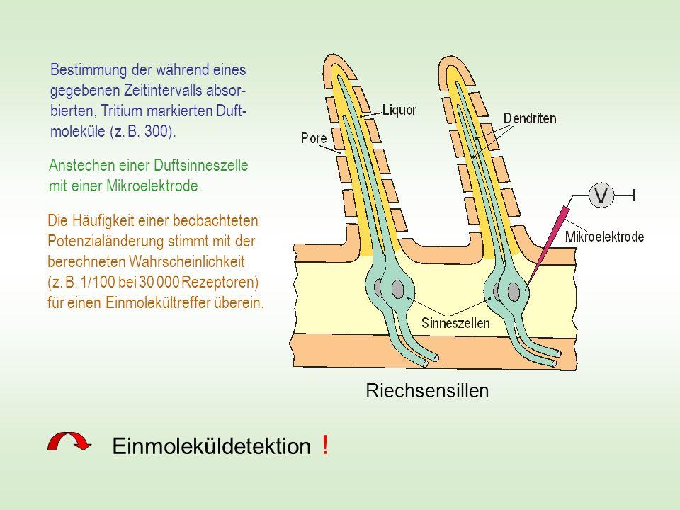 Riechsensillen Bestimmung der während eines gegebenen Zeitintervalls absor- bierten, Tritium markierten Duft- moleküle (z. B. 300). Einmoleküldetektio