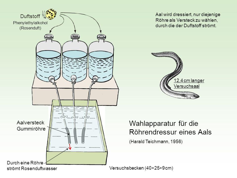 Duftstoff Wahlapparatur für die Röhrendressur eines Aals Aalversteck Gummiröhre (Harald Teichmann, 1956) Phenylethylalkohol (Rosenduft) Aal wird dress