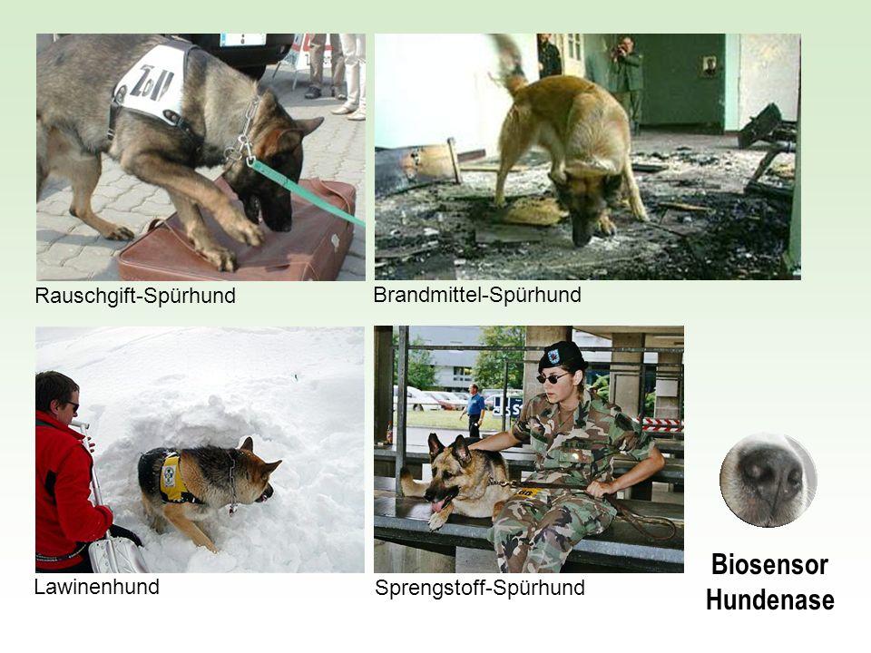 Brandmittel-SpürhundRauschgift-SpürhundSprengstoff-Spürhund Lawinenhund Biosensor Hundenase