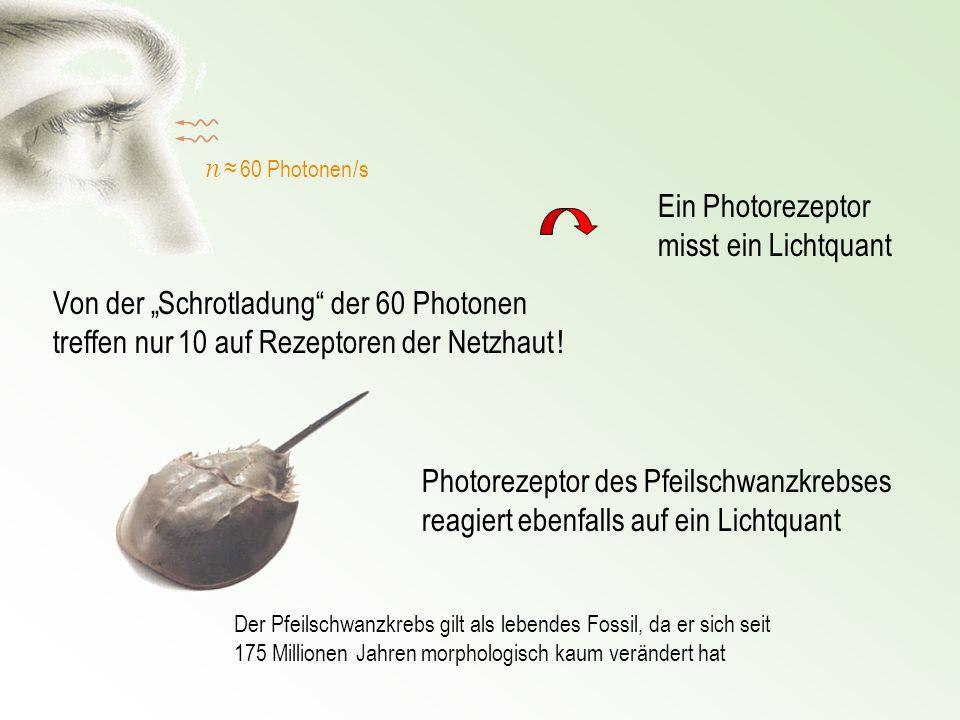 n 60 Photonen /s Von der Schrotladung der 60 Photonen treffen nur 10 auf Rezeptoren der Netzhaut ! Photorezeptor des Pfeilschwanzkrebses reagiert eben
