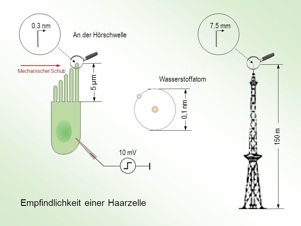 7,5 mm 150 m 0,3 nm 5 μm5 μm An der Hörschwelle 0,1 nm Wasserstoffatom Empfindlichkeit einer Haarzelle 10 mV Mechanischer Schub